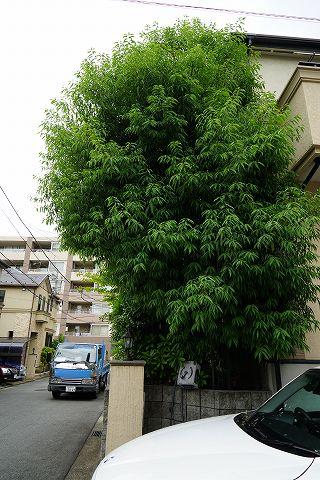 20150606 庭木 03.jpg